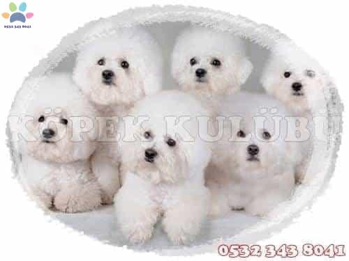 bichon frise yavruları