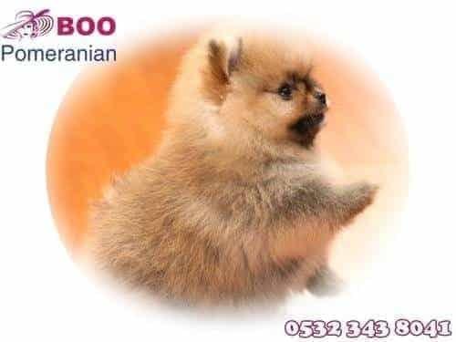 boo köpek