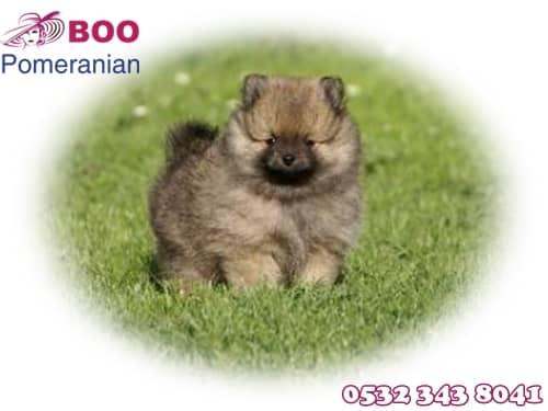 boo köpek fiyat