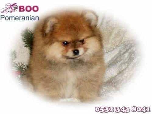 boo köpek fiyatları