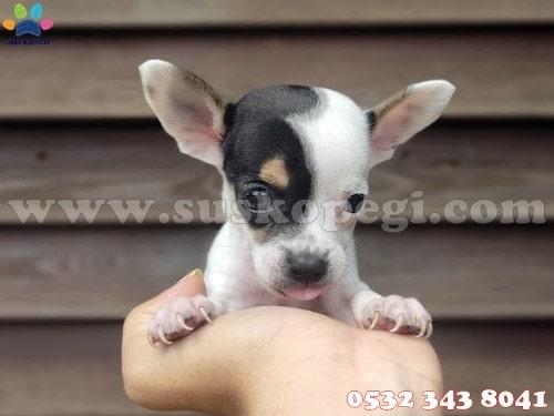 chihuahua fiyat