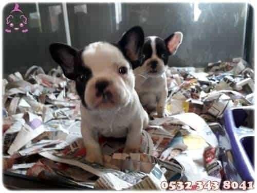 fransız bulldog fiyatları