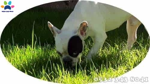 fransız bulldog