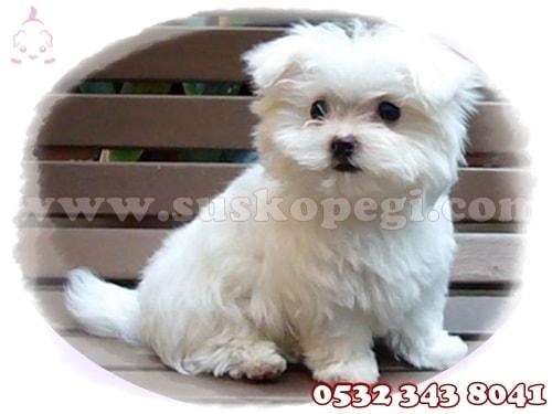 0 numara maltese terrier