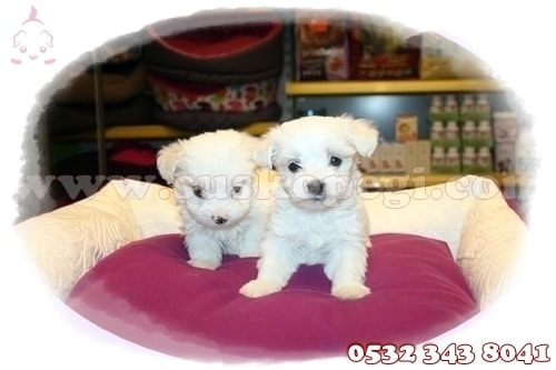 teacup maltese terrier fiyat