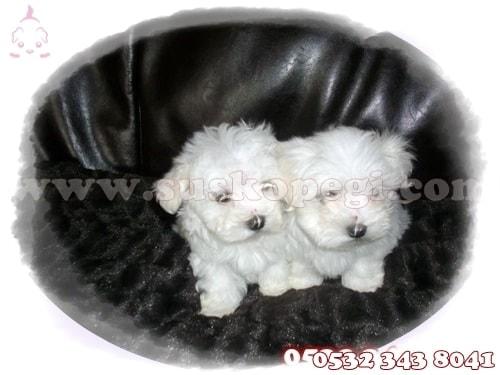 maltese terrier yavruları satılık