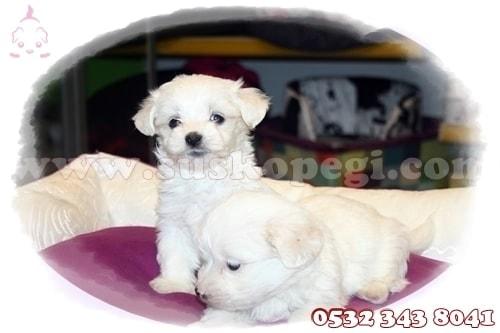 satılık maltese terrier yavrusu