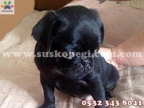 satılık pug siyah