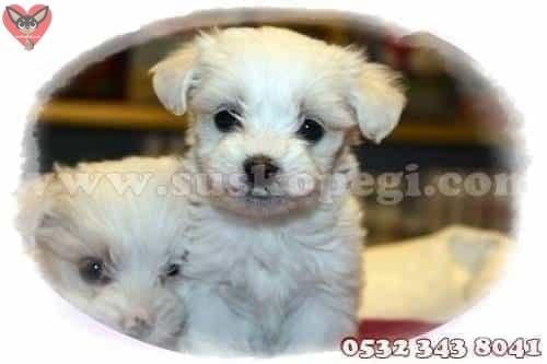 satılık maltese terrier yavru fiyat