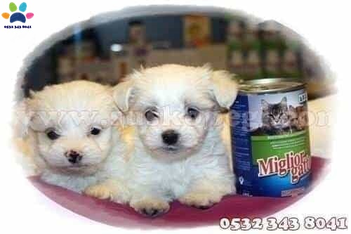 satılık maltese terrier yavru fiyatları