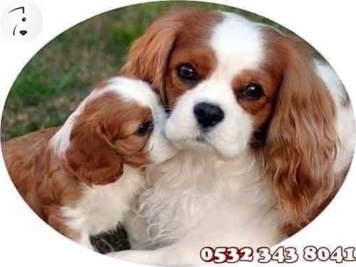 süs köpeği özellikleri