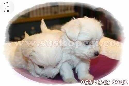 maltese terrier teacup