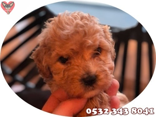 toy poodle fiyat