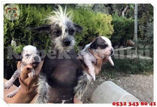 tüysüz çin köpeği fiyatları
