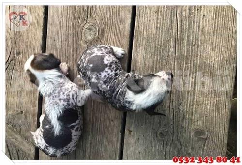 tüysüz köpek yavruları