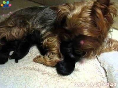 yorkshire terrier fiyat