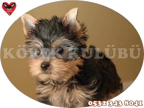 yorkshire terrier fiyatları