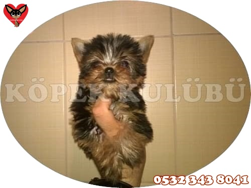 yorkshire terrier teacup