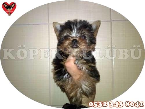 yorkshire terrier yavru