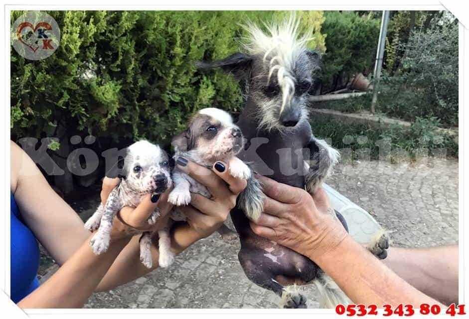 tüysüz köpek